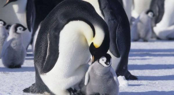 la-marcia-dei-pinguini-3983